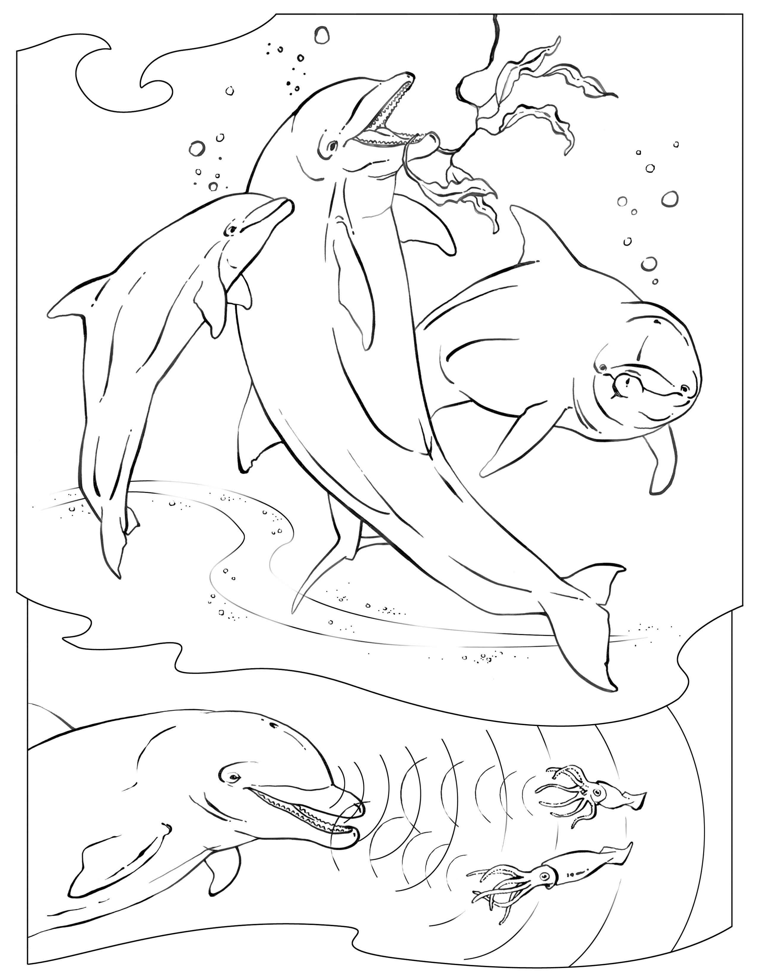 Coloriage vrai dauphin